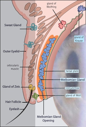 Eyelid Glands Profile on Basic Eye Diagram